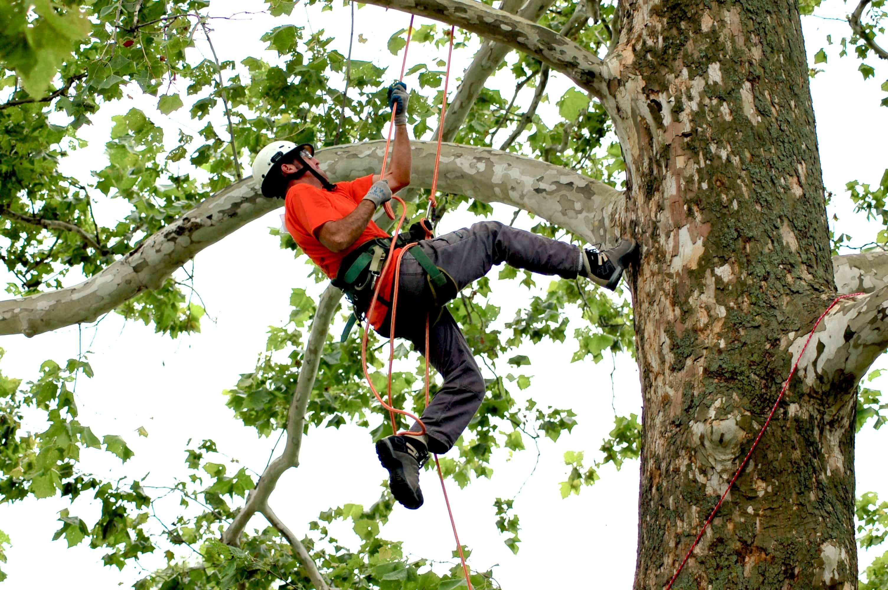 Lambertree Climbing a Sycamore Tree